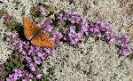 Klitperlemorsommerfugl - Fanø.4.jpg