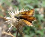 Kalkbredpande - Thymelicus aceteon.jpg