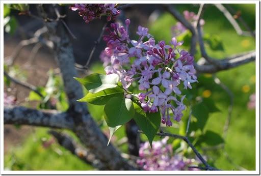 lilacs may 2015 016