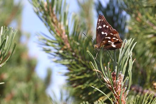 Motýľ kosodrevinový