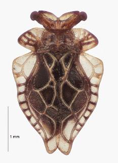 Oiophysa distincta (Hemiptera: Peloridiidae). Photo BE Rhode, colour corrected against live individual in collaboration with M-C Larivière.Citation: Larivière M-C, Burckhardt D, Larochelle A. 2011. Peloridiidae (Insecta: Hemiptera: Coleorrhyncha). Fauna of New Zealand 67. 78 pp. http://www.biotaxa.org/fnz/issue/view/431