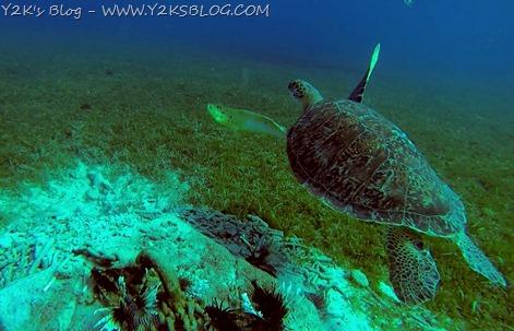 Nuotiamo con le tartarughe e i lionfish