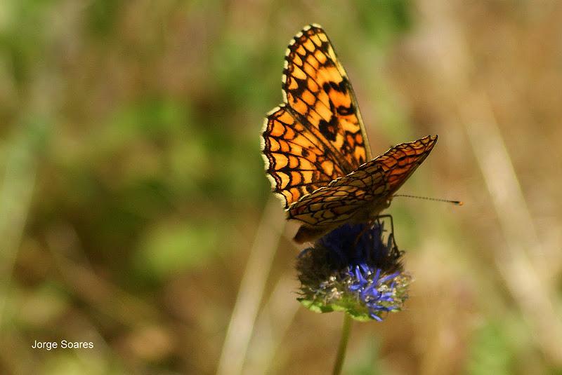 Euphydryas aurinia, borboleta, Poço Corga, Portugal