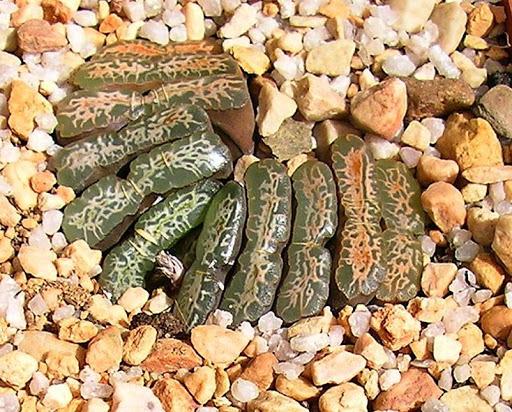 Haworthia truncata -