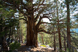 Big ol' Juniper tree. Amazing to think this tree is over 1000 years old.
