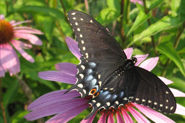 Black Swallowtail (Lowell Lunden)