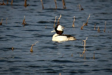 Bufflehead Male IMG_9004
