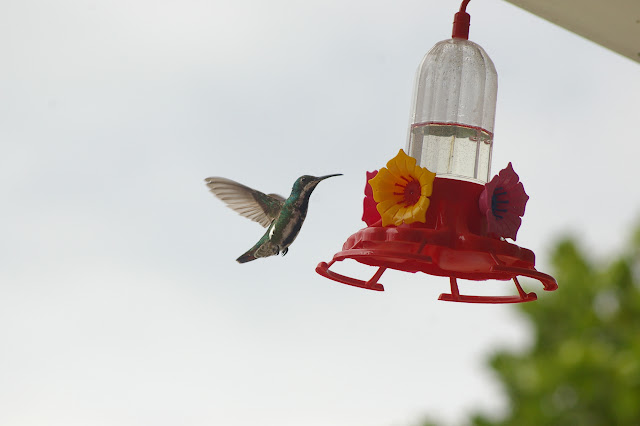 Colibri sur la terrasse à Pulso (Ubatuba, SP), 21 février 2011. Photo : J.-M. Gayman