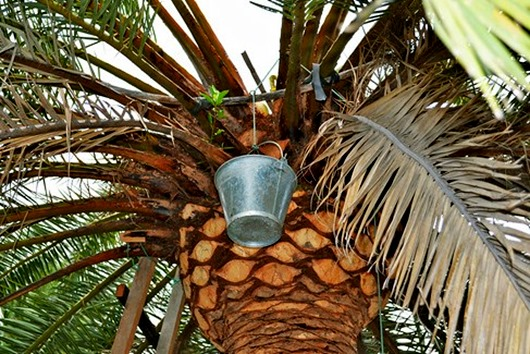 сбор-пальмового-меда