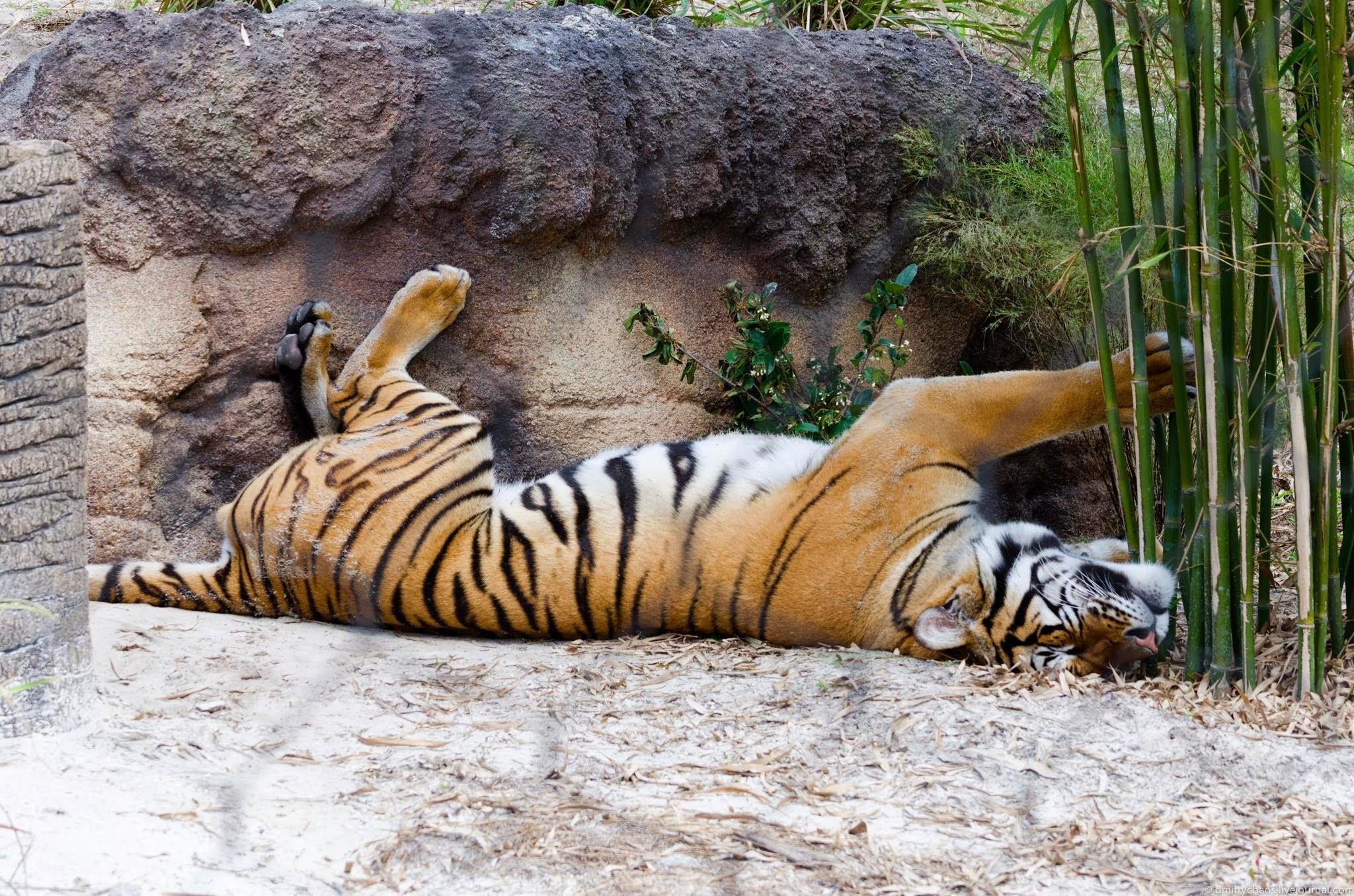 Тигр в зоопарке загрузить