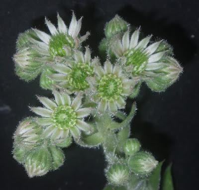 Sempervivum & jovibarda - Page 2 Sempervivum