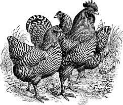 5 About Plymouth Rock chicken Fun Facts