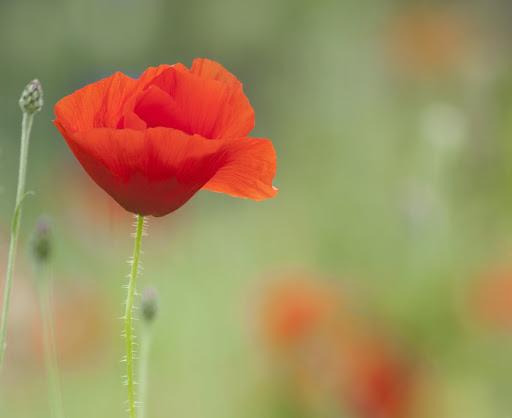 poppy_by_sarahharas1-d6axnrq-2013-07-1-08-38.jpg