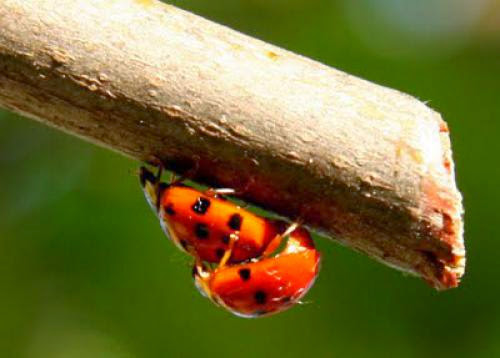 Pagan Eye Ladybird Love