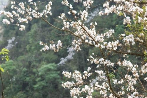 thang 3 hoa ban ve tren thao nguyen xanh moc chau Tháng 3 – mùa hoa ban về trên thảo nguyên xanh Mộc Châu