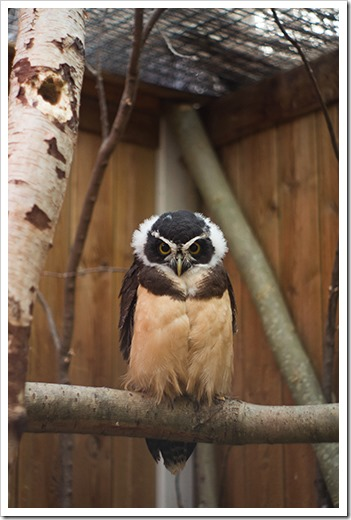 spectacled-owl