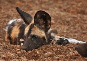 African Wild Dog Puppy, South Africa