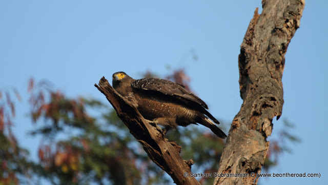 Crested Serpent Eagle getting ready to fly