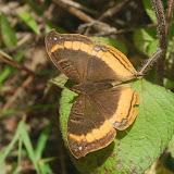 Precis eurodoce (WESTWOOD, 1850). Parc de Mantadia, 900 m (Madagascar), 27 décembre 2013. Photo : T. Laugier