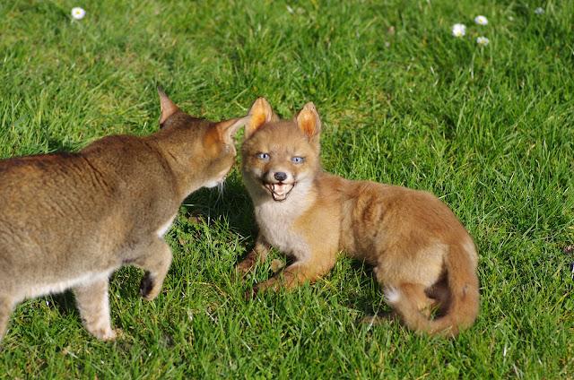 Souf et le renard. Les Hautes-Lisières (Rouvres, 28), 16 mars 2012. Photo : J.-M. Gayman