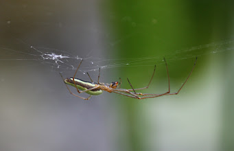 Photo: Tetragnatha sp  ARACHNIDA > Araneae > Tetragnathidae