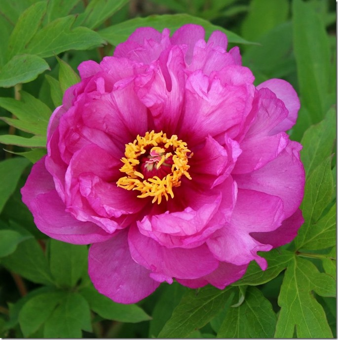 our_peonies_from_last_may_by_mypeanutgallery-dc6vx9e
