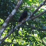 Tamarin à pattes jaunes : Saguinus midas (L., 1758). Patawa (Montagne de Kaw), 25 octobre 2012. Photo : J.-M. Gayman
