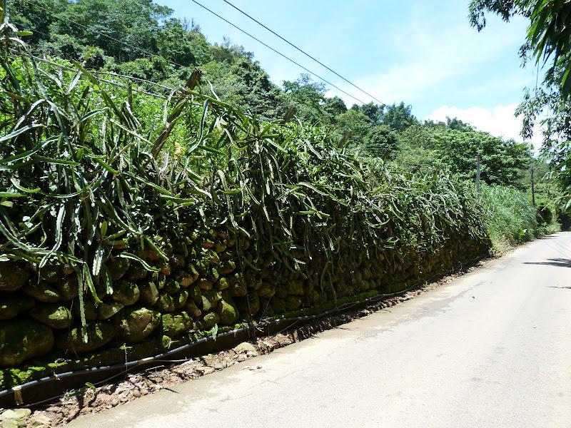 Haie de dragon fruit