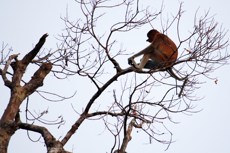 Un mono narigudo en un árbol
