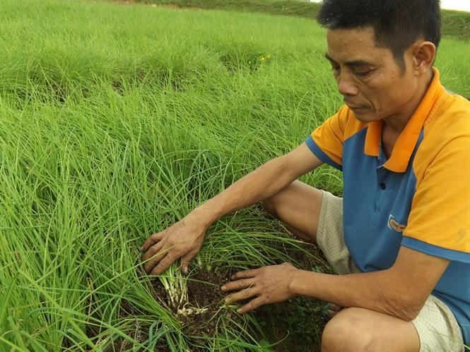 Mô hình và kỹ thuật trồng hành tăm trên lưới cho năng suất cao - 56cc134feb960