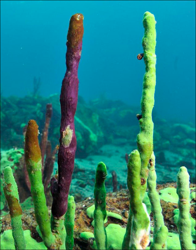Healthy green coloured Lake Baikal sponge sponge has been replaced by ailing brown-tinted growths, or even swathes of pink sponge. Photo: Sergey Belikov / Science First Hands
