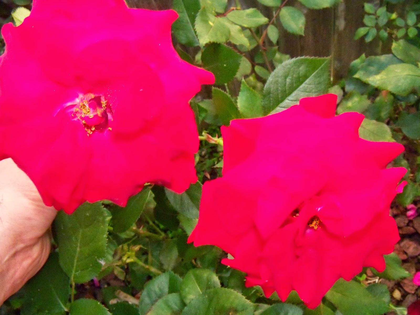Gardening 2015 - 116_7684.JPG