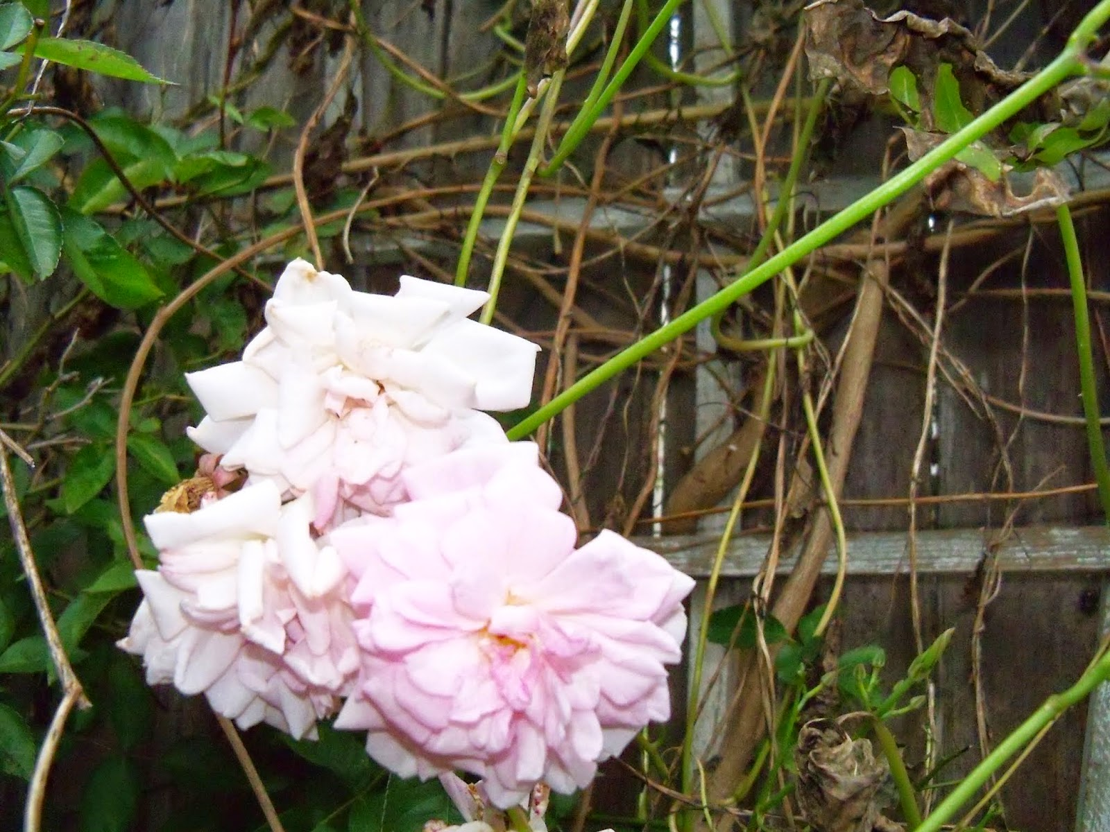 Gardening 2014 - 116_6269.JPG