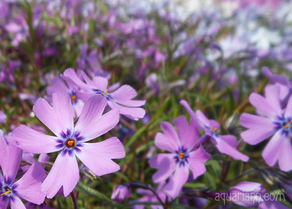 Creeping Phlox Photo