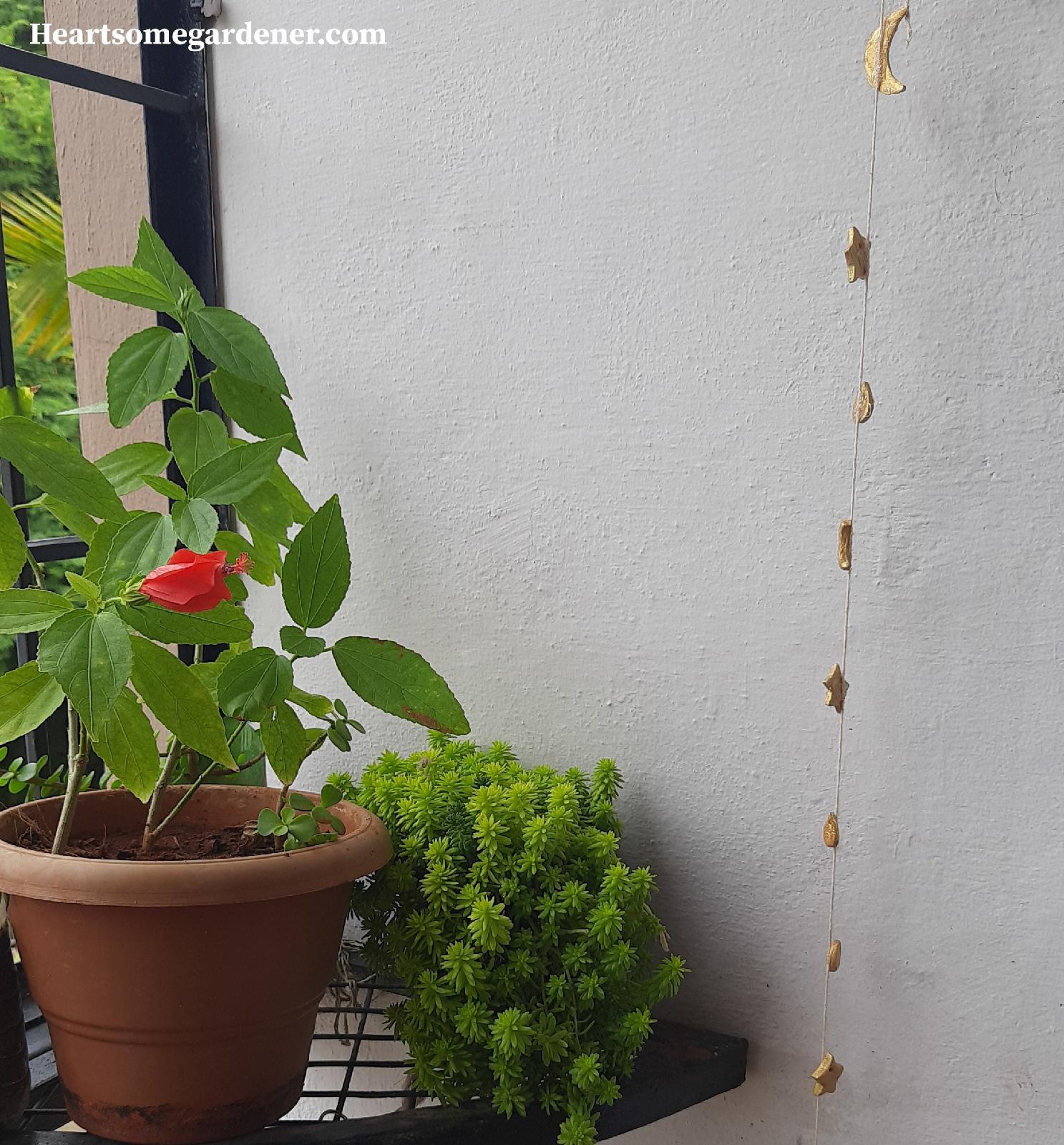 Turks cap plant - grow in Apartments