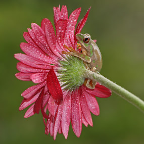 Frog on Flower by David Knox-Whitehead - Flowers Single Flower ( water drops, flowers, frogs, amphibians, droplets,  )