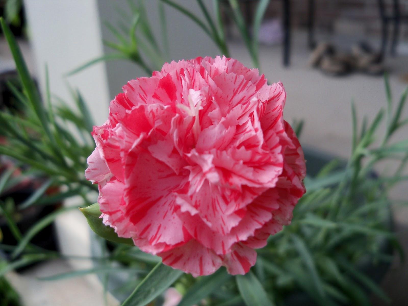 Gardening 2012 - 115_1593.JPG