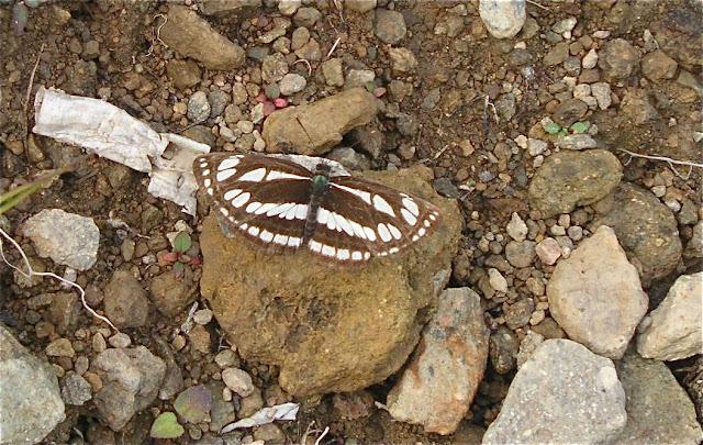 Neptis sappho PALLAS, 1771. 5 km de Dal'negorsk vers Monomakhovo, 26 juillet 2010. Photo : J. Michel