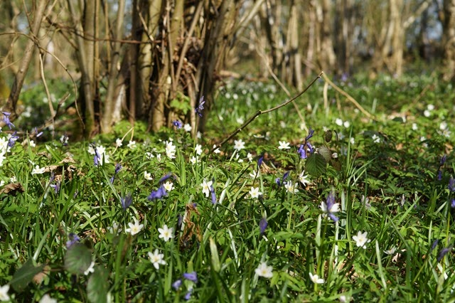 foxley wood Norfolk in spring