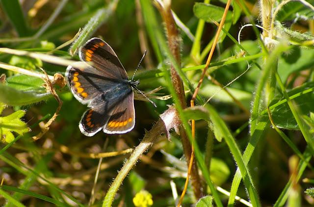 Aricia agestis DENIS & SCHIFFERMÜLLER, 1775, femelle. Hautes-Lisières (Rouvres, 28), 15 mai 2011. Photo : J.-M. Gayman