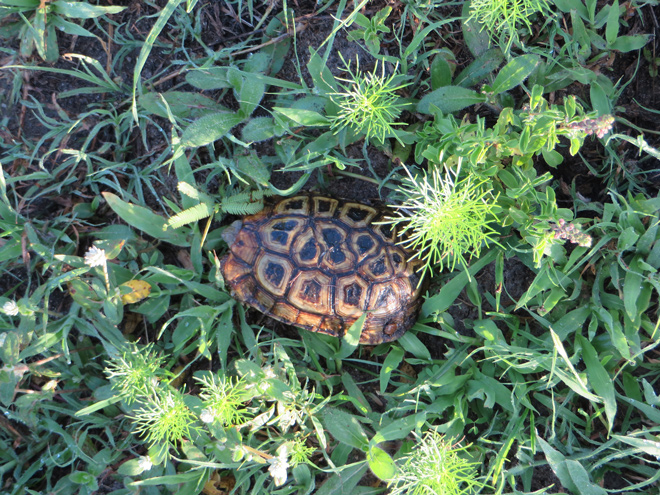 Panterschildpad, Kruger Park - Zuid Afrika