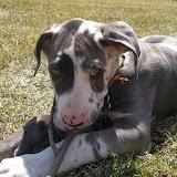Dynamite Danes Family #6 - puppy%2Btraining.jpg
