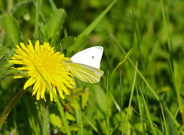 Pieris rapae LINNAEUS, 1758, mâle. Hautes-Lisières (Rouvres, 28), 21 avril 2011. Photo : J.-M. Gayman