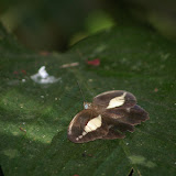 Dasyophthalma creusa HÜBNER, (1821), mâle. Fazenda d'Arariba (Ubatuba, SP), 22 février 2011. Photo : J.-M. Gayman.  http://www.scielo.br/scielo.php?script=sci_arttext&pid=S0101-81752003000100020