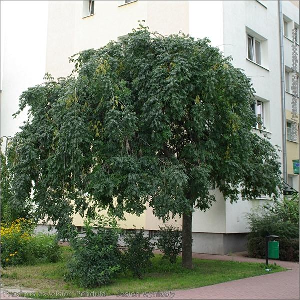 Fraxinus excelsior 'Pendula' habit - jesion wyniosły 'Pendula'pokrój