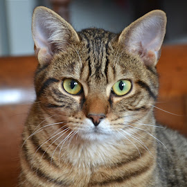 Neron 2112 by Serge Ostrogradsky - Animals - Cats Portraits (  )