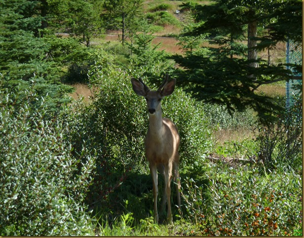 deer with fuzzy new headgear