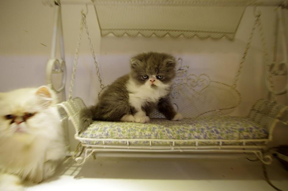 越來越沒加菲臉的波斯貓XD