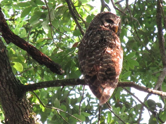 7 Barred Owl Strix varia (6)