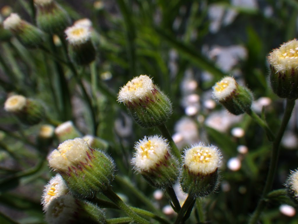 アレチノギクの花